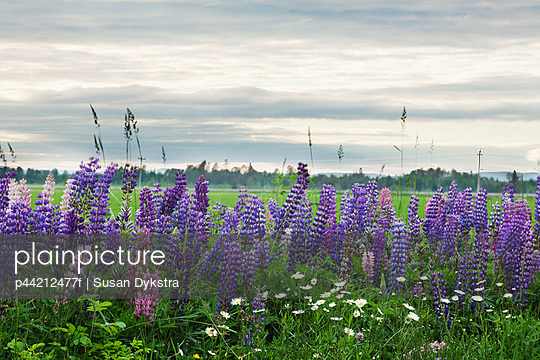 purple lupines; thunder bay, ontario, canada
