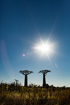 Baobabs in backlit - p741m2077008 by Christof Mattes