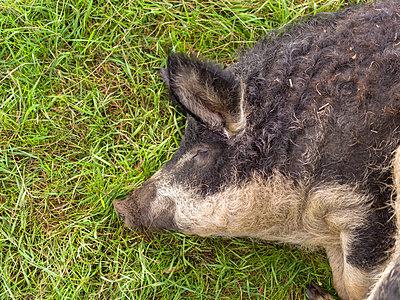 Mangalica Schwein - p1267m2184683 von Wolf Meier