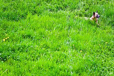 Wachsamer Hund liegt auf einer Wiese - p473m670389f by STOCK4B-RF