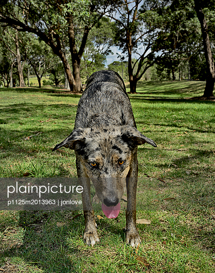 Dog focussed on throwing stick - p1125m2013963 by jonlove