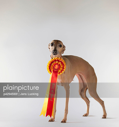 Dog wearing first prize ribbon - p4294590f by Jens Lucking