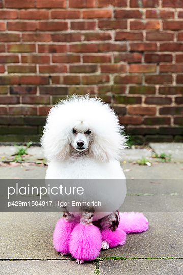 plainpicture | Photo library for authentic images - plainpicture p429m1504817 - Animal portrait of groomed ... - plainpicture/Cultura/Igor Emmerich