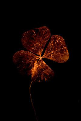 Goldenes Vierblättiges Kleeblatt - p248m698201 von BY