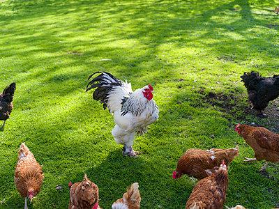 Chicken farm - p1267m2043228 by Wolf Meier