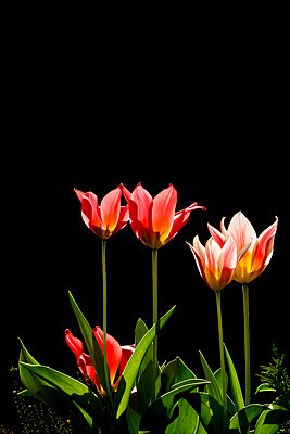 England, Yorkshire. Tulips in sunlight with a dark background. - p651m2152396 by Robert Birkby