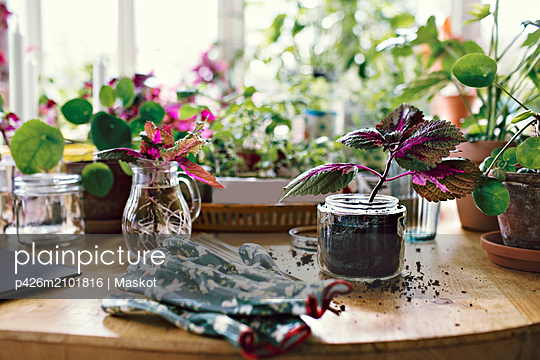Gardening glove by plants in jars on table at home - p426m2101816 by Maskot