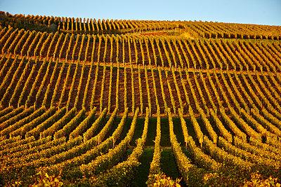 Weinberg Herbst, Oberrotweil - p1312m1207415 von Axel Killian