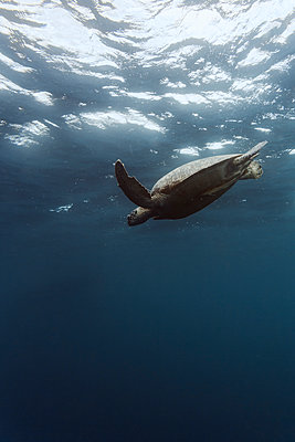 Indonesia, Bali, Underwater view of lone turtle swimming near surface - p300m2144174 by Konstantin Trubavin