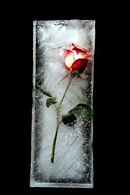 Rose - p451m760594 by Anja Weber-Decker