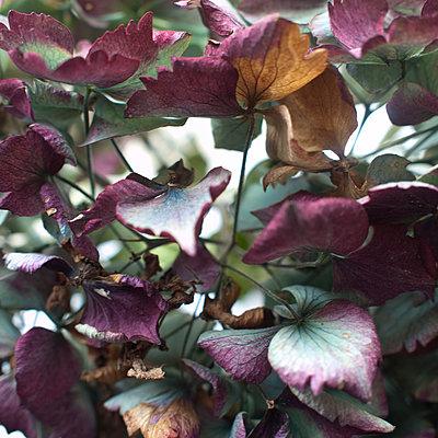 Hortensia , Hydrangea - p927m1069566 by Florence Delahaye