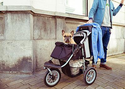 Französische Bulldogge sitzt im Hundewagen - p432m2022323 von mia takahara