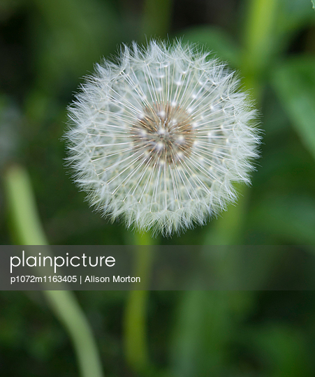 Dandelion head - p1072m1163405 by Alison Morton