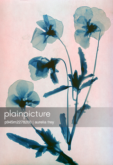 Blue pressed flowers - p945m2278200 by aurelia frey