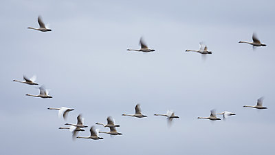 Motion Blur of Tundra Swans Flying - p1480m2229480 by Brian W. Downs