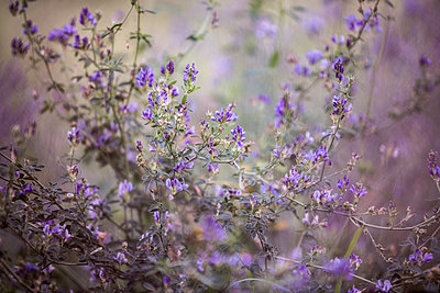 Bush with purple blossoms - p1640m2245906 by Holly & John