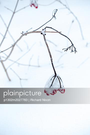 Rote Beeren im Schnee - p1302m2027783 von Richard Nixon