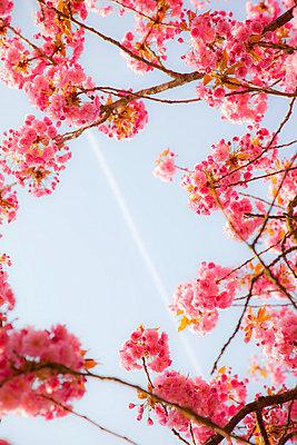 Kirschblüte - p3820129 von Anna Matzen