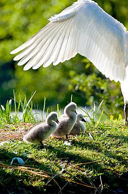 Familiy of swans - p533m908620 by Böhm Monika