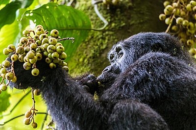 Uganda, Bwindi Impenetrable National Park. A female moutain gorilla feedig on ripe figs early in the morning in the Impentatrable Forest. - p651m2032691 by Jonathan & Angela Scott
