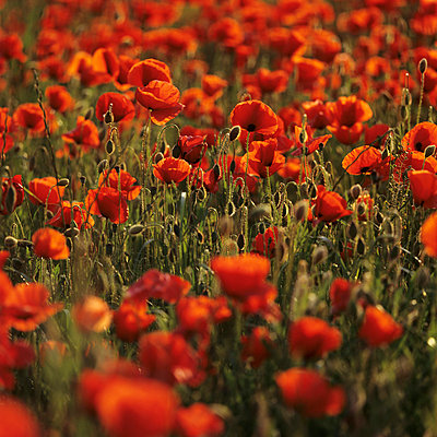 Poppy field - p2200566 by Kai Jabs