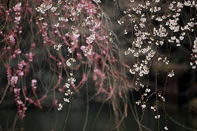 Cherry blossoms - p307m747674f by Tetsuya Tanooka