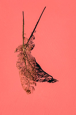 Close-up of skeleton leaf on pink background - p1047m2073073 by Sally Mundy
