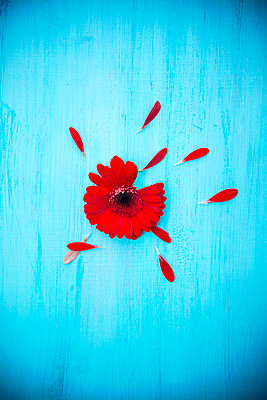 Red Gerbera with Loose Petals on Blue Ground  - p1248m2230292 by miguel sobreira