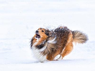 Germany, Shetland Sheepdog running in snow - p300m998114f by Stefan Schurr