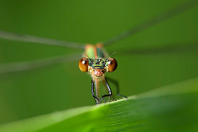 England, Emerald Damselfly, Lestes sponsa, Close-up - p300m941007f by Mark Johnson