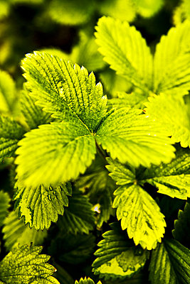 Close-up of Wild strawberry leaves - p4550681f by GUSK