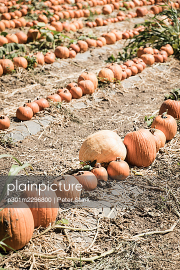 Harvested pumpkins in sunny farm field - p301m2296800 by Peter Stark