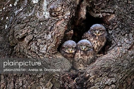 Little owl (Athene noctua) chicks in nest hole, Arcos de la Frontera, southern Spain. June. - p840m2269749 by Andres M. Dominguez