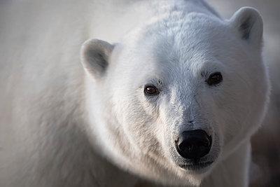 Young polar bear (ursus maritimus) staring into camera lens during sunrise; Churchill, Manitoba, Canada - p442m1442335 by Robert Postma