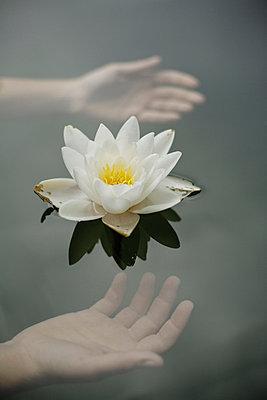 Water lily - p966m661613 by Tobias Leipnitz