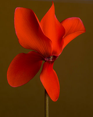 Flaming Red Cyclamen against Dark Amber Background, Close-up - p694m2068612 by Lori Adams