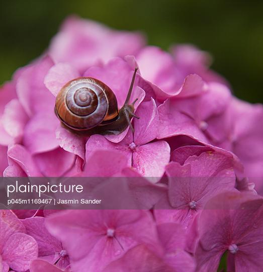 Schnecke auf Rhododenron Blüte - p045m1169467 von Jasmin Sander