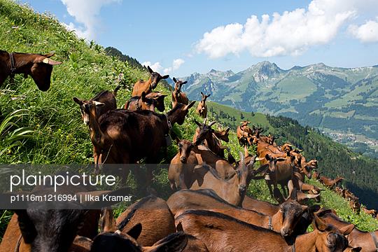 Ziegen in den Alpen - p1116m1216994 von Ilka Kramer