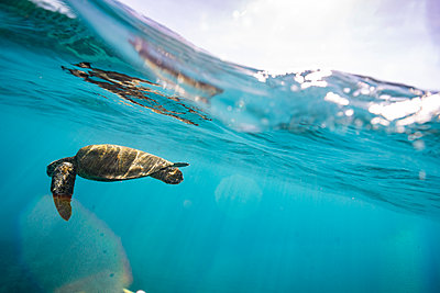 Sea turtle swims beneath the surface of the ocean with sun spots - p1166m2218498 by Cavan Images