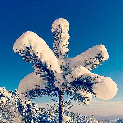 Germany, Palatinate Forest, fir branch in snow - p300m1025284f by Gaby Wojciech