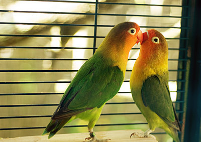 Parakeets kissing - p6242763f by Michele Constantini