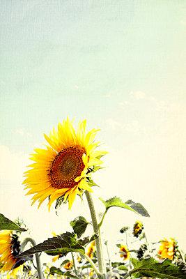 Sonnenblume - p879m1172570 von nico