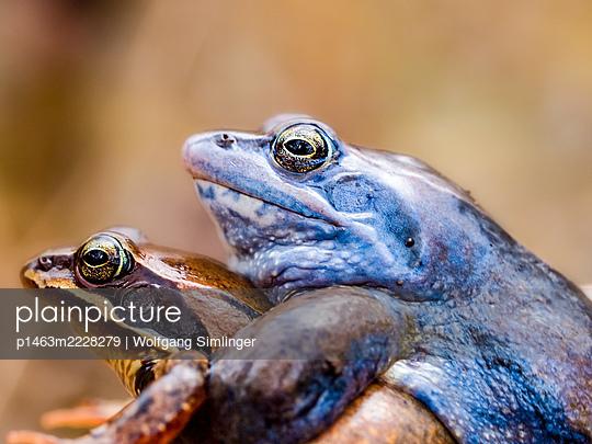 Moorfrosch, rana arvalis, bei der Paarung, Männchen in blauer Farbe - p1463m2228279 von Wolfgang Simlinger