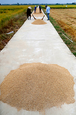 Rice harvest, farmers drying rice on road, Hoi An, Vietnam, Indochina, Southeast Asia, Asia - p871m2152447 by Godong