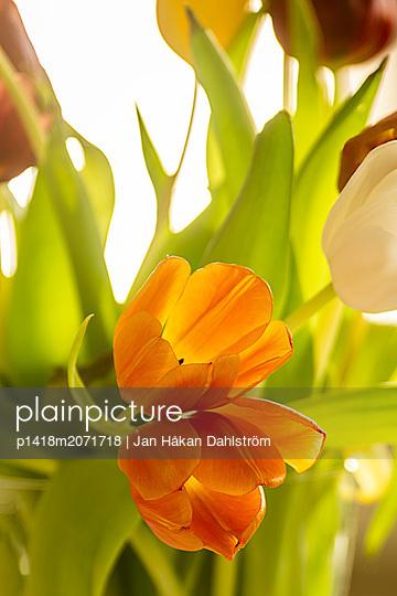 Tulpen, close-up - p1418m2071718 von Jan Håkan Dahlström