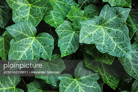Ivy - p1501m2109011 by Alexander Sommer