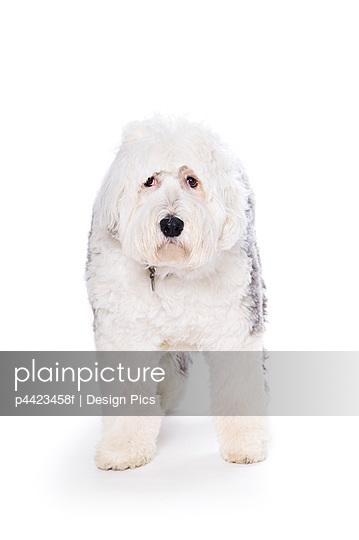 Old English Sheepdog on white background