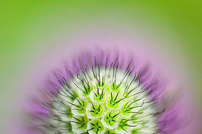 Abstract macro picture of the Pincushion flower - p1144m943740 by Misja Smits
