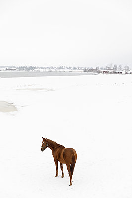 Horse in snow covered field - p352m2120090 by Åke Nyqvist