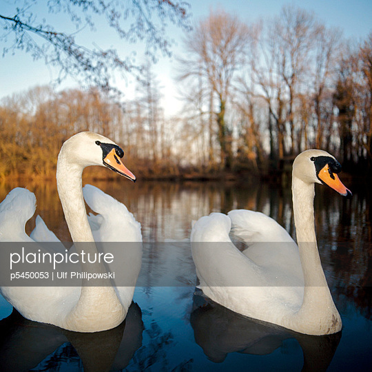 Schwanenpaar - p5450053 von Ulf Philipowski